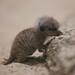 Baby meerkat! by Matt Biddulph