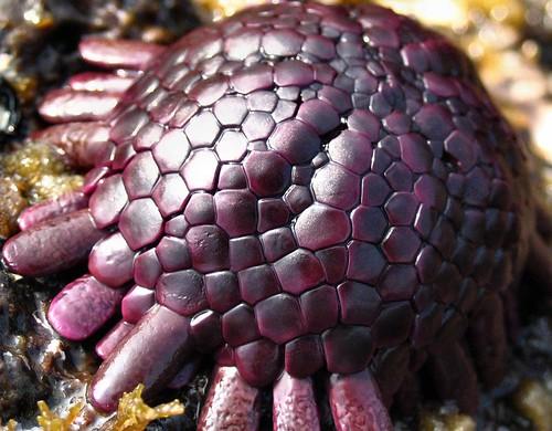 Helmet Urchin, Puako, Hawaii