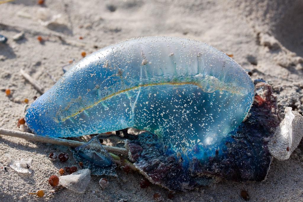 Varadero Balloon Jellyfish Deadly Btw A Photo On