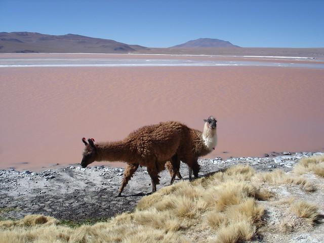 Guanacos en la Laguna Colorada, Bolivia