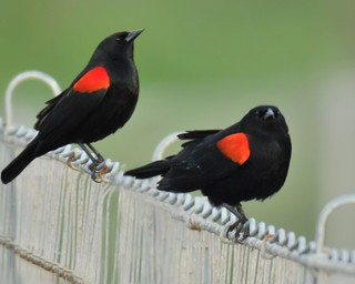 Male red-wings on a fence