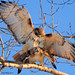 Red-tailed Hawks Mating! by JRIDLEY1