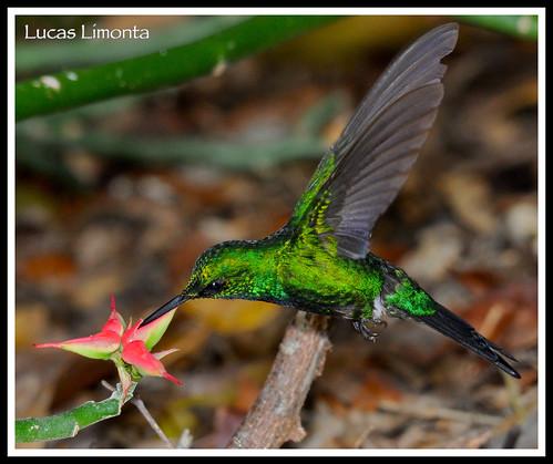 puertorico pr fbwnewbird chlorostilbonmaugaeus puertoricanemerald zumbadorcitodepuertorico esmeraldapuertorriqueña