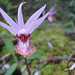 Western Fairy-slipper - Photo (c) triplep220, all rights reserved