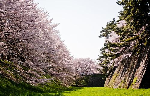 Sakura view