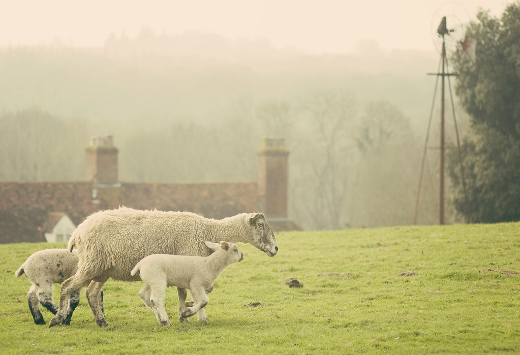 Lambing season A sheep wanders across my view with two sprightly little lambs