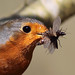 Robin's breakfast -Erithacus rubecula by andy.v