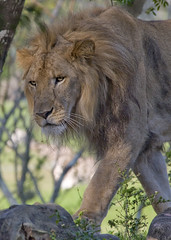Lion_AMY3259