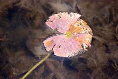 Dead Leaf In Water
