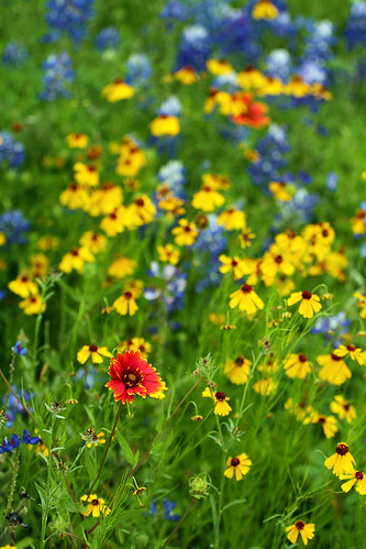 flowers blue red yellow canon texas bluebonnet 7d wildflowers hillcountry