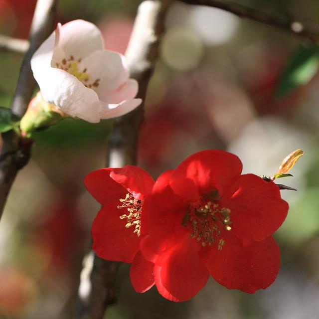 Photo:Peach / Prunus persica / 花桃(ハナモモ) By TANAKA Juuyoh (田中十洋)
