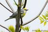 Brewster's Warbler by ~ Michaela Sagatova ~