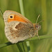 Small Heath - Photo (c) Rachel, some rights reserved (CC BY-NC-ND)