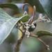 Melicope knudsenii