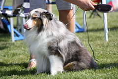 scotch collie(0.0), australian shepherd(0.0), dog breed(1.0), animal(1.0), dog(1.0), pet(1.0), mammal(1.0), rough collie(1.0), collie(1.0), english shepherd(1.0),
