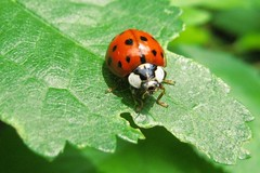 Coccinelle / Ladybird