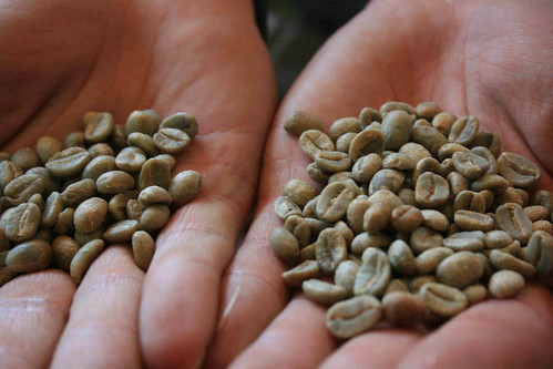 Organic Green Coffee Beans in Hand