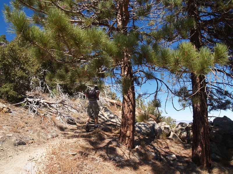 Shade and pines on the Skyline Trail