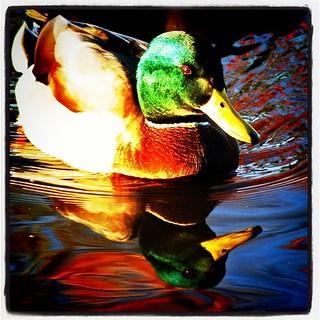 Instagram Duck