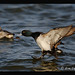 Lesser Scaup by Finiky