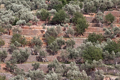Marjades i oliveres