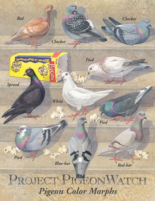pigeon color morphs
