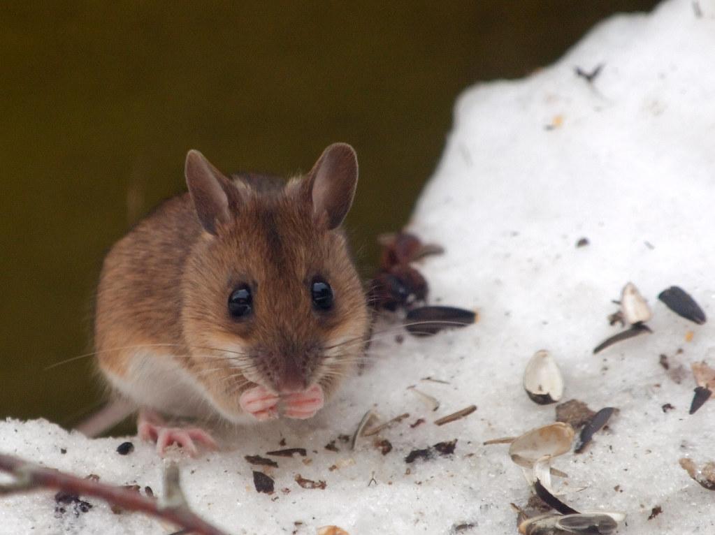 Ratón de campo/Basasagua (Biodiversidad Alegría-Dulantzi ...