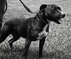 dog breed, animal, dog, pet, monochrome photography, monochrome, carnivoran, staffordshire bull terrier, black-and-white, black, terrier,