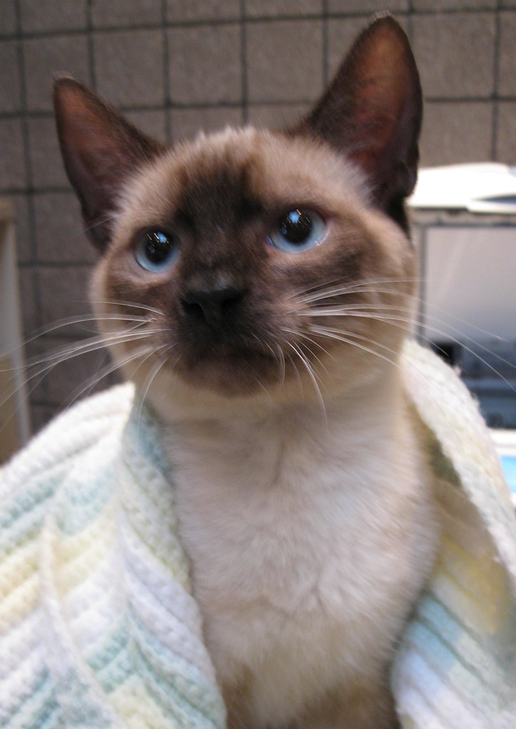 Lemon, a Siamese or Siamese Mix Kitten ~ Perfect, Beautiful, Friendly