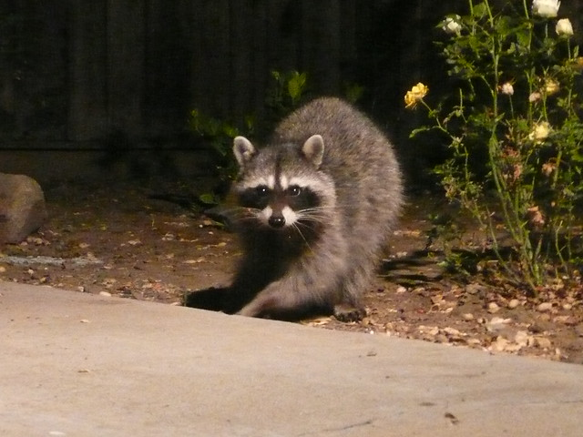 2009 - May 27 Raccoon in our yard (12) | Flickr - Photo ...