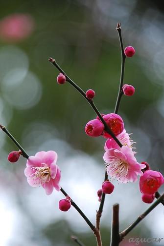 park pink flower japan nikon chiba ume d60 darkpink flowerscolors photographyrocks auniverseofflowers aobanomorikōen