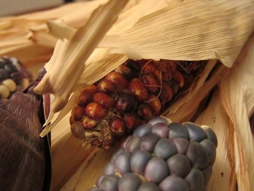 Indian Corn, Blue Corn, purple husks, dried IMG_0009