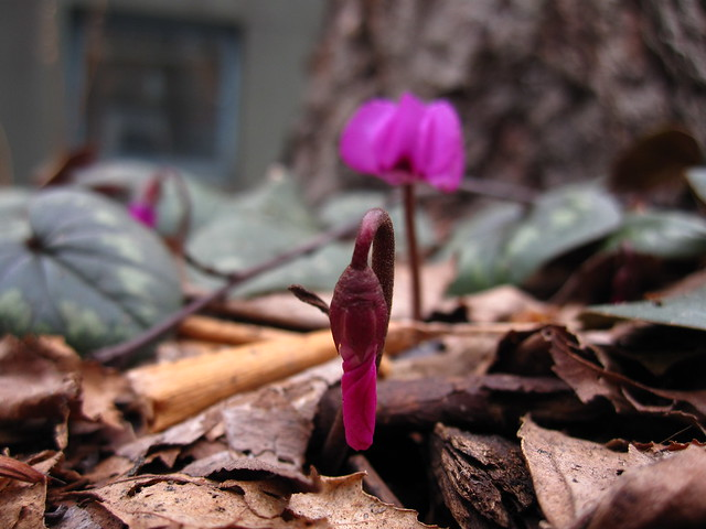 Signs of spring are appearing throughout BBG! Here Cyclamen coum blooms along the Washington Avenue entrance to The Garden. Photo by Rebecca Bullene.