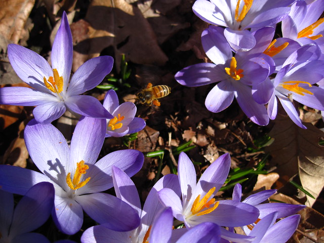 The bees are buzzing at BBG! Here a bee collects pollen from a crocus patch near the Rock Garden. Photo by Rebecca Bullene.