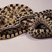 Pine Snake - Photo (c) Kerry Matz, some rights reserved (CC BY-NC-SA)