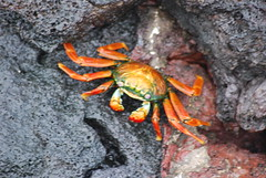 ocypodidae(0.0), food(0.0), fiddler crab(0.0), american lobster(0.0), crab(1.0), animal(1.0), freshwater crab(1.0), crustacean(1.0), seafood(1.0), marine biology(1.0), invertebrate(1.0), fauna(1.0),