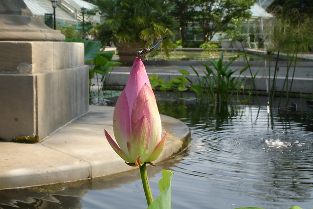 Nelumbo nucifera, sacred lotus, in the Jenkins Fountain pool on Lily Pool Terrace.