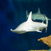 Small photo of Hammerhead
