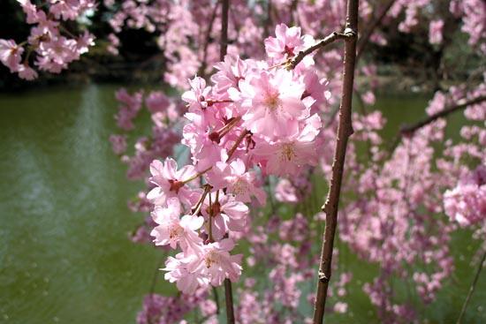 Prunus subhirtella 'Pendula'. Photo by Rebecca Bullene.