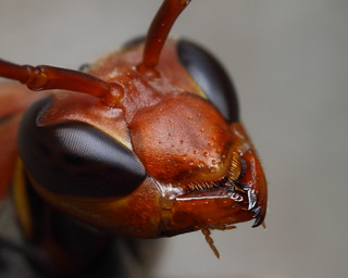 Black eye wasp profile
