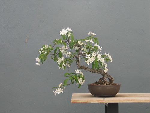 Malus  Slant Style in Spring