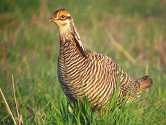 pheasant(0.0), ruffed grouse(0.0), animal(1.0), prairie(1.0), fauna(1.0), prairie chicken(1.0), bird(1.0), galliformes(1.0), wildlife(1.0),