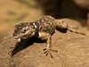 "<a href=""http://www.flickr.com/photos/matthiaswicke/4546593528/"">Photo of Sceloporus cyanogenys by Matthias Wicke</a>"