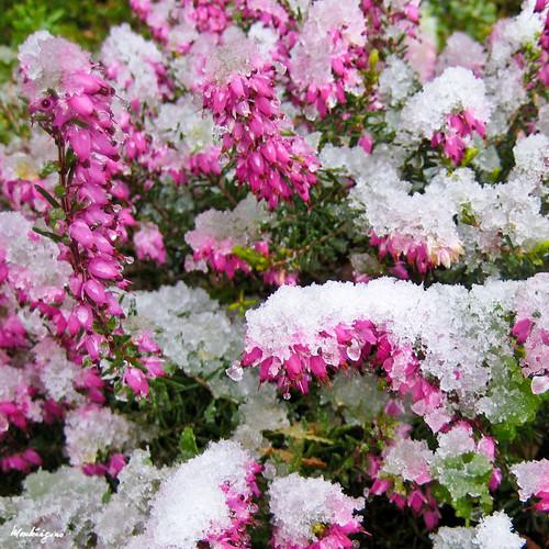 Springwood Pink Heaths – Bruyère
