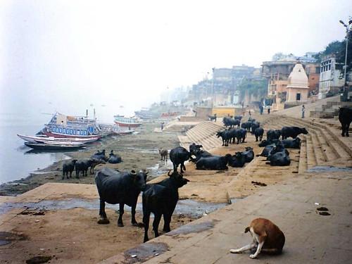 Varanasi Ghats and Water Buffalo