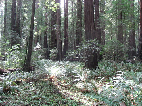 Glade in Redwood Forest