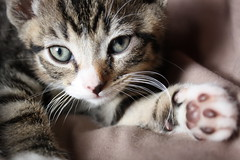 nose, animal, kitten, tabby cat, small to medium-sized cats, skin, pet, snout, mammal, european shorthair, american shorthair, close-up, cat, whiskers, eye, domestic short-haired cat,