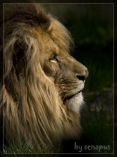 Malik the Katanga LionKatanga Lion