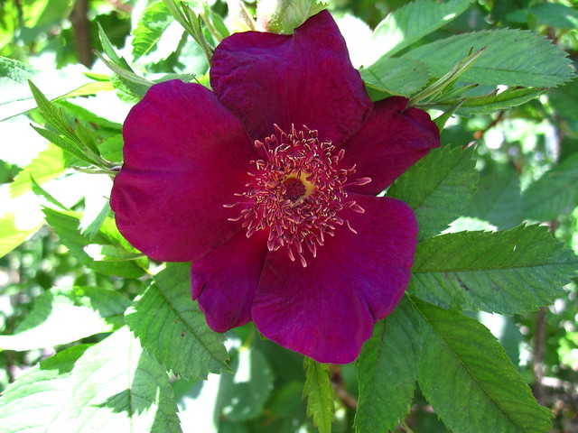 'Basye's Purple'