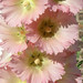 Pale Pink Hollyhocks
